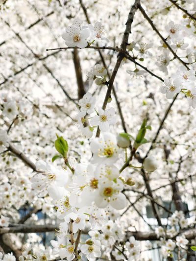 Background Flower Spring Apple Plant Growth Flower Flowering Plant Fragility Beauty In Nature No People Tree Branch Blossom Freshness Nature Springtime Day White Color Close-up Twig