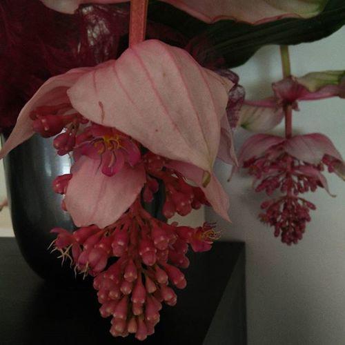 Medinilla Medinillamagnifica solo belle piante per belle donne.. :) <3
