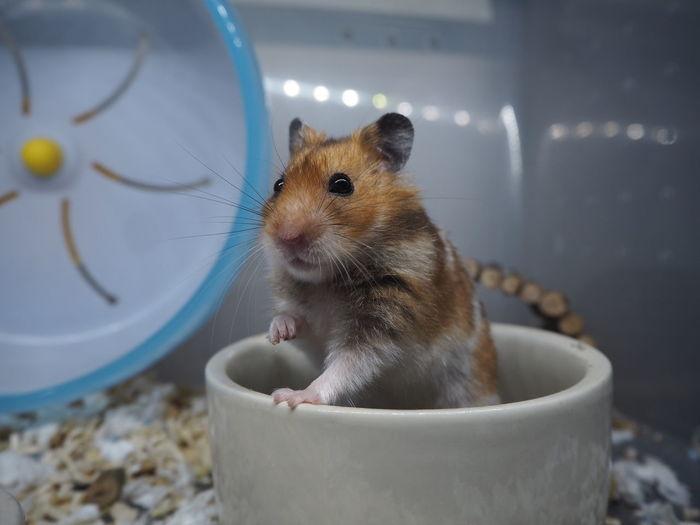 Animal Pets Hamster Syrianhamster