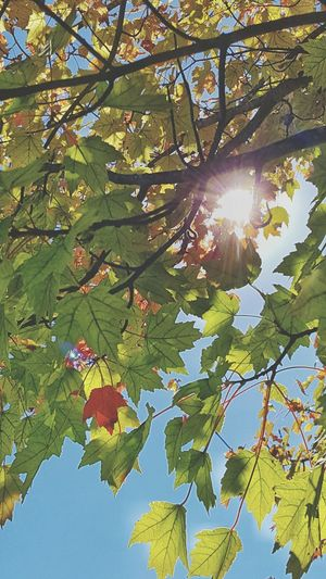 Sunbeam Sunlight Tree Branch Sunny Nature Leaf Fall Leaves Fall Sun Lens Flare Outdoors Beauty In Nature Low Angle View Sun Sunlight Tree Sunbeam Growth Branch Sunny Leaf Lens Flare Green Color Bright