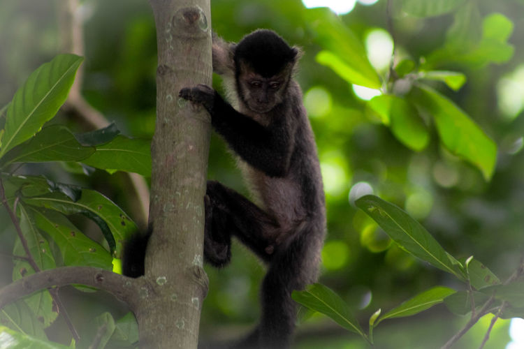 Monkey, Brasil, Crazy , Nature