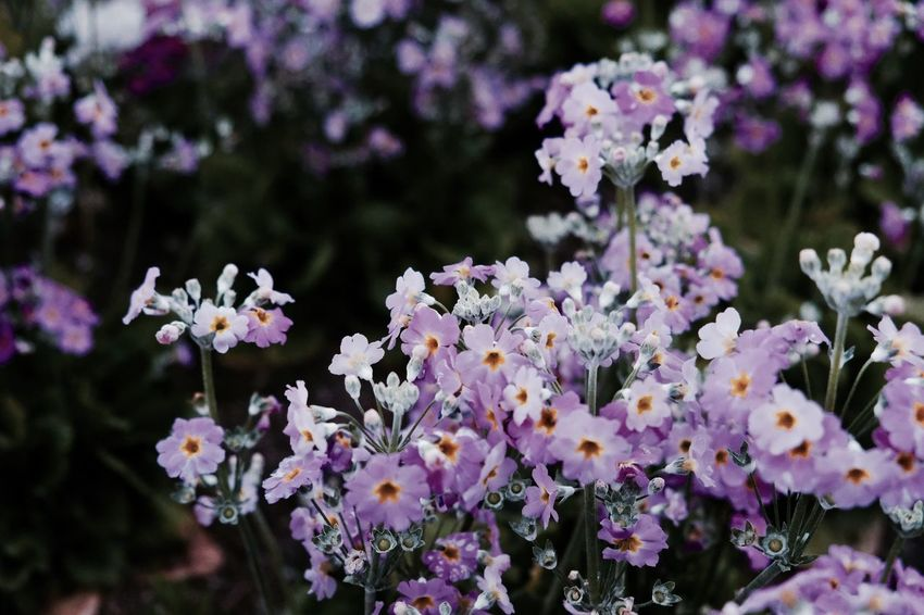 Beauty In Nature Blooming Close-up Day Flower Flower Head Focus On Foreground Fragility Freshness Growth Lilac Nature No People Outdoors Petal Plant