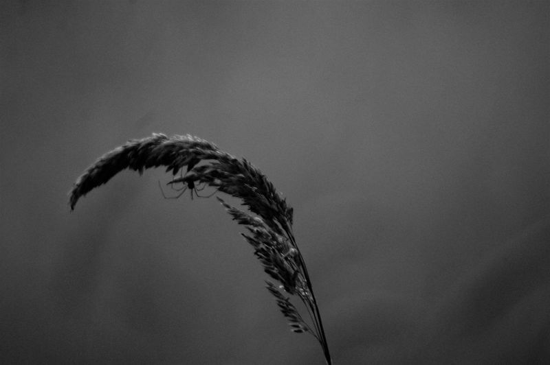 Spider on blade of grass in field. Plant Blade Of Grass Growth Plant Stem Stalk Animal Animal Themes Spider Upside Down Hanging Out Blackandwhite Bokeh Copy Space No People Nature Beauty In Nature Tranquility Tranquil Scene Vulnerability  Fragility Scenics - Nature Day Outdoors Sunlight Shadow Silhouette Seed Low Angle View Focus On Foreground Side View Close-up Backgrounds Insect Small The Minimalist - 2019 EyeEm Awards