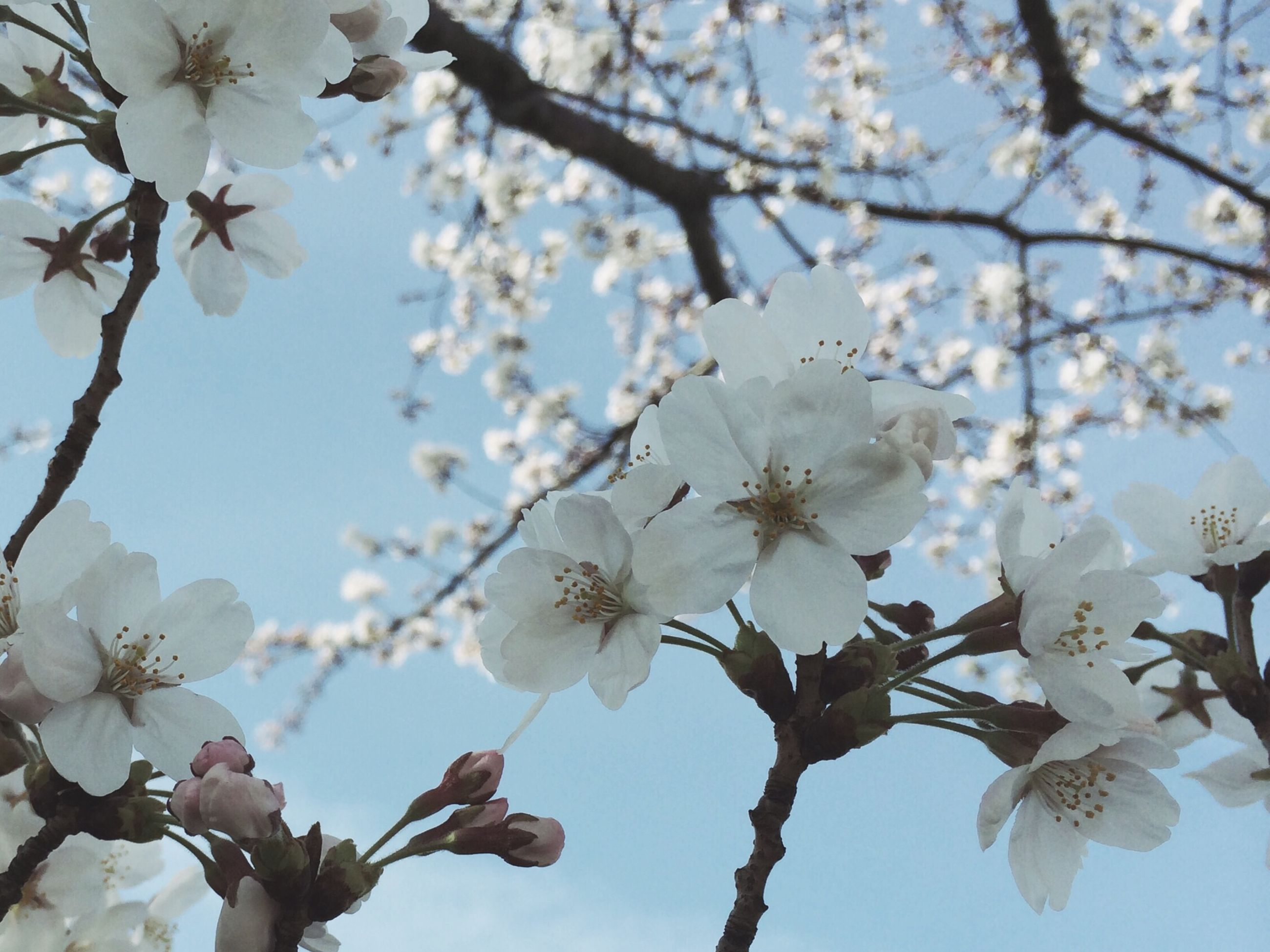 flower, branch, tree, freshness, cherry blossom, low angle view, cherry tree, growth, fragility, blossom, beauty in nature, white color, nature, fruit tree, apple tree, petal, in bloom, apple blossom, springtime, blooming
