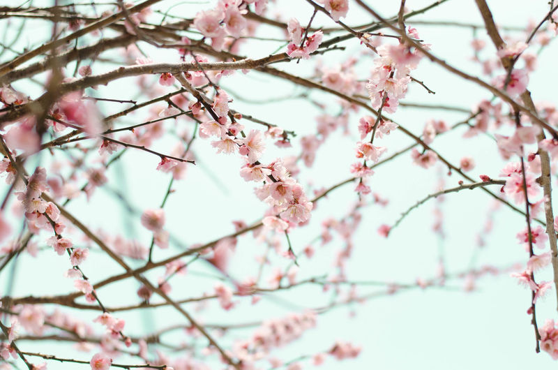 sakura trees in Japan Beauty In Nature Blossom Bluesky Branch Cherry Blossom Cherry Tree Day Flower Growth In Bloom Japan Nature Pink Color Sakura Spring Tree