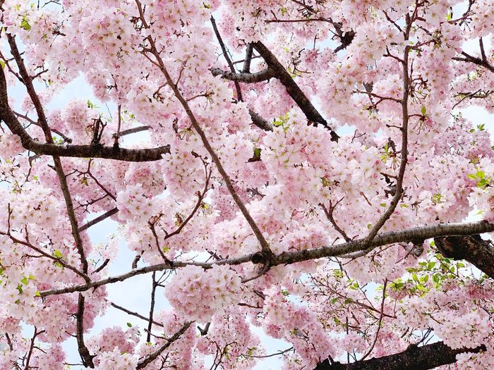 Cherry blossoms tree. Freshness Sakura Plant Tree Branch No People Full Frame Backgrounds Growth Flowering Plant Springtime Blossom Beauty In Nature Flower Nature Low Angle View Outdoors Fragility