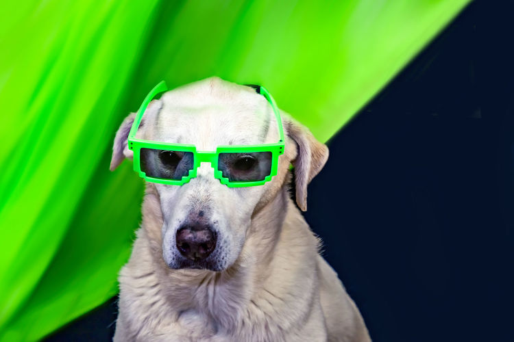 Coolness got a new definition Green Green Color My Best Photo Sunglasses Summer Fun Funny Neon Color Copy Space Labrador Labrador Retriever Purebred Dog Breed Coolness One Animal Dog Animal Themes Canine Domestic Animals Domestic Animal Pets Mammal Portrait Vertebrate Glasses Humor Fashion Close-up Animal Body Part Looking At Camera No People Animal Head