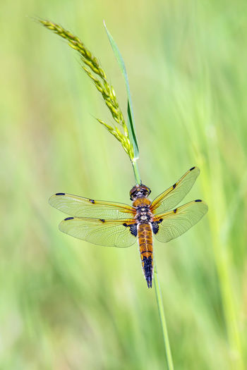 a beautiful dragonfly sits on a tall blade of grass Dragonfly Grass Libellula Quadrimaculata Animal Themes Animals In The Wild Close-up Damselfly Day Focus On Foreground Four-spotted Chaser Insect Meadow Nature No People One Animal Outdoors Spring
