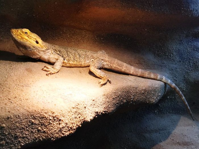 EyeEm Selects Reptile One Animal Animal Wildlife Animals In The Wild Animal Themes Lizard