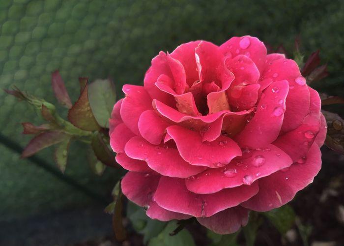 Coral colored rose. Rose - Flower Rosé Coral Rose Petal Close-up Blooming Flower Garden Rose Garden Horizontal
