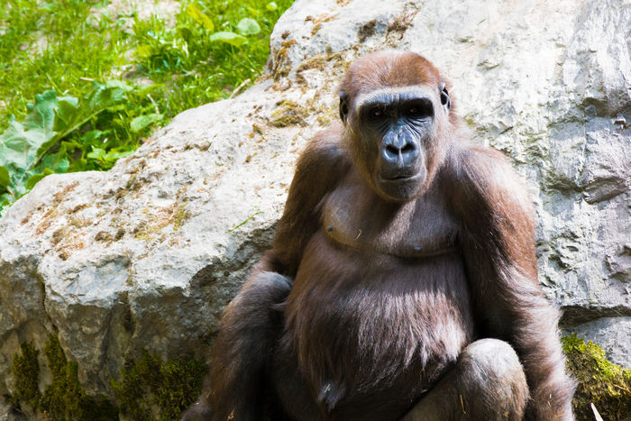 Close-up Day Gorilla Nature No People Outdoors Portrait Rock - Object