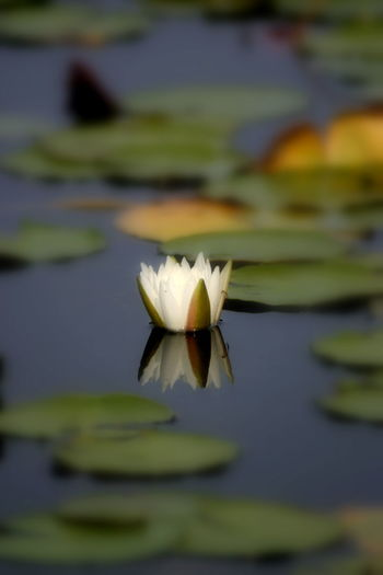 Single Water Lily Beauty In Nature Close-up Day Floating On Water Flower Flower Head Focus Fragility Freshness Growth Lake Leaf Lily Pad Lotus Water Lily Nature No People Outdoors Petal Water Water Lily Waterfront