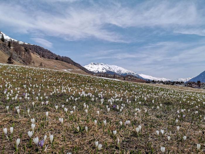 Mountain Flower Rural Scene Agriculture Water Snow Springtime Sky Landscape Mountain Range