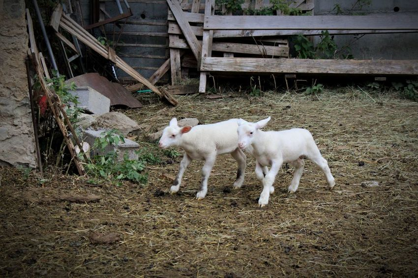 Animal Themes Domestic Animals Mammal Livestock White Color No People Outdoors Day Nature Pets Sheep Running Moutons Agneaux Young Animal Nature