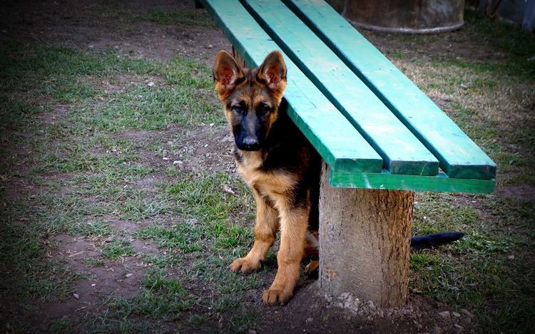 My Jane, Shy under the bench Shy Dogs Dogs Of EyeEm Pets Gsdpuppy GSD Animals