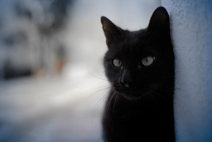 Domestic Cat Pets One Animal Black Color Domestic Animals Feline Animal Eye Looking At Camera Portrait Animal Themes Yellow Eyes No People Outdoors Whisker Mammal Close-up Siamese Cat Day