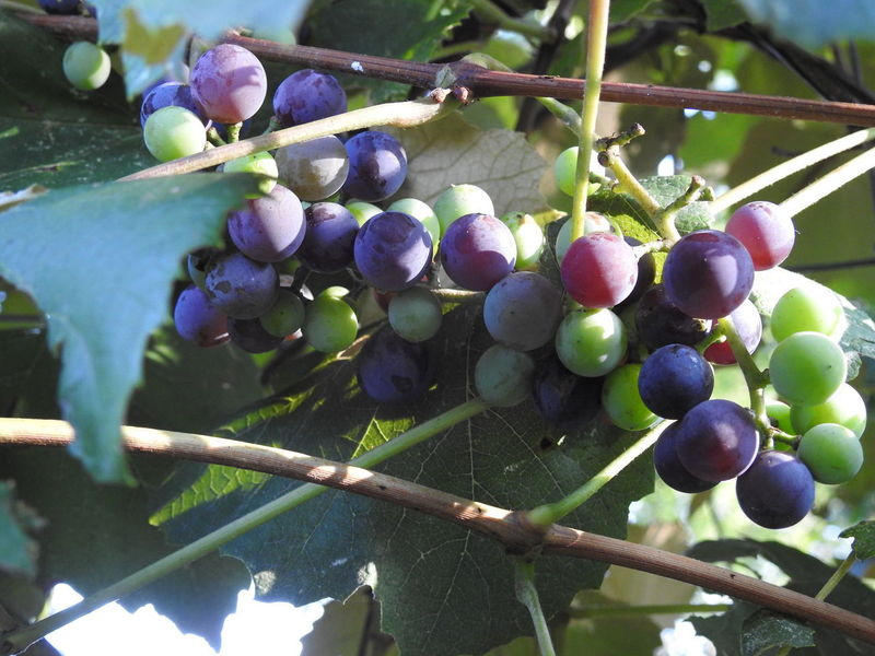 Concord Grapes growing on the vine Concord Grape Vine Grapevine Green Wine Grape Blue Blue Grapes Concord Concord Grapes Fresh Fresh Fruit Fruit Fruit On The Plant Fruit Photography Garden Photography Grape Leaf  Grape Leaves Grapes Grapes Nature Photography Grapes On The Vine Grapevines  Green Grapes Growing Fruit Outside Photography Purple Grapes Wine Grapes