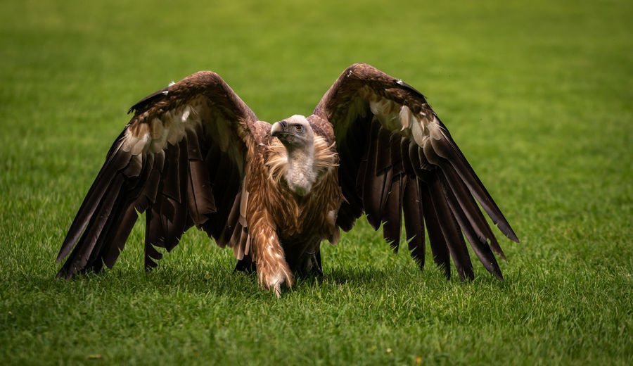 Griffon in the grass Bird Grass Animal Themes Bird Of Prey Animal Animals In The Wild Animal Wildlife Spread Wings Group Of Animals Vertebrate Nature Plant Flying No People Field Vulture Green Color Day Two Animals Land Outdoors Eagle