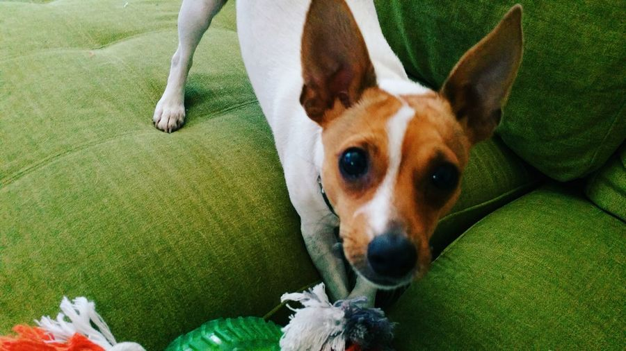 Pets Domestic Animals Mammal Animal Themes Dog Looking At Camera Portrait No People Fox Terrier  Day Green Lounge Indoors  Eyes Are Soul Reflection Eyes Watching You Eyesbrown