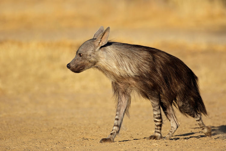 Side view of hyena walking on field