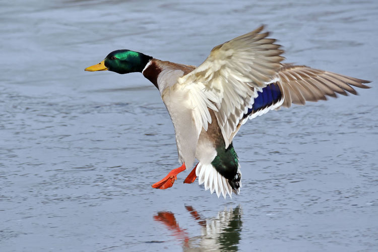 Close-up of mallard duck flying over lake