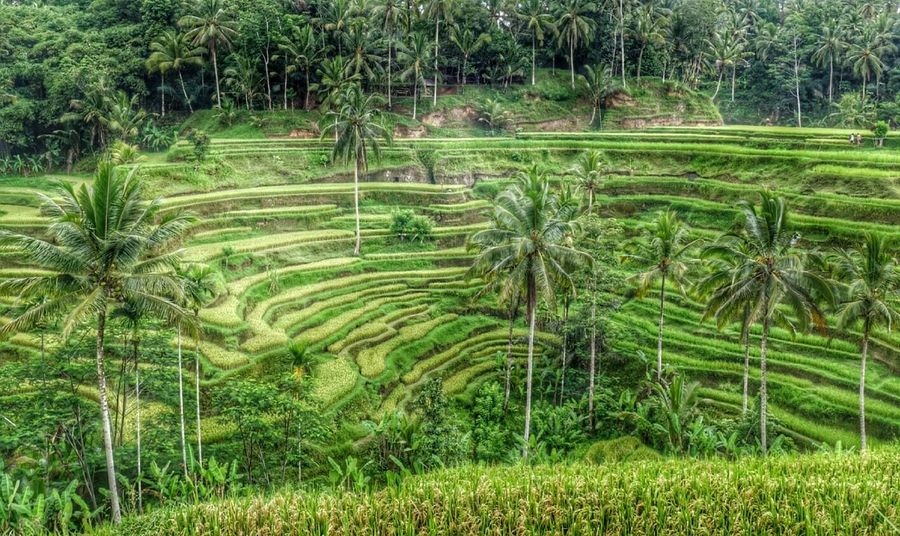 Bali, Indonesia Tegalalang Holiday Gateway RiceTerraces Nature