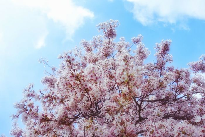 Give me sunshine! So I can catch a sakura for you! ฅ( ̳• ◡ • ̳)ฅ Sunshine Photography Spring Flowers Nature Photography Streetphotography EyeEm Nature Lover