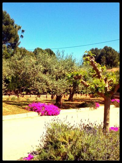 Goodmorning Hi! EyeEm Taking Photos No People Lavender Trees Springishere Flowers :) I Espigol Heaven
