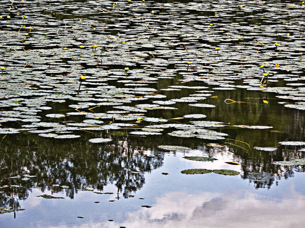 Nénuphar, Prévost, QC Beauty In Nature Floating On Water Lily Pad Nature No People Outdoors Reflection Water