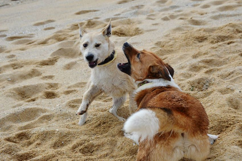 brothers😍 Picoftheday Catalonia Playa Pets Dogs Of EyeEm Dog Dogslife Pets Beach Dog Sand Sea Rushing FootPrint Animal Track Sandy Beach Canine Two Animals EyeEmNewHere