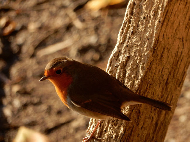 Bird Animal Wildlife One Animal Nature Close-up Animal Themes Animals In The Wild No People Feather  Outdoors Perching Living Organism Nikonphotography Tranquility EyeEm Selects Beauty In Nature EyeEm Nature Lover Robin Robin Redbreast