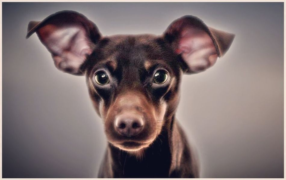 Diesel the min pin Min Pin Miniature Pinscher Pets Looking At Camera Portrait One Animal Domestic Animals Dog Animal Themes