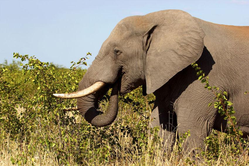 Elephant eating a bush Africa Bush Bushes Eating Elephant Elephants Ivory Nature No People Outdoors Safari South Africa Trees Tusk Wild Wildlife Wildlife & Nature Wildlife Photography
