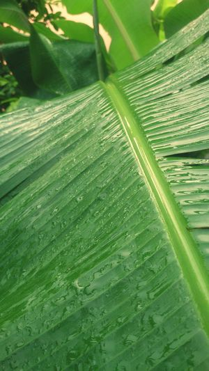 🍌☔⚡ Green Color Nature Leaf Agriculture Day Growth Freshness