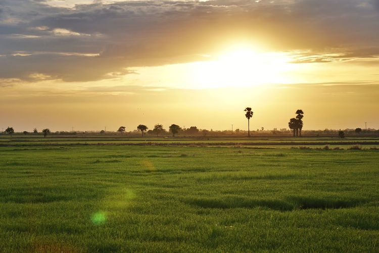 Rice Paddy Sunset Rural Scene Agriculture Flower Field Water Beauty Farm Rice - Cereal Plant