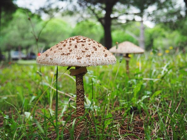 Mushroom Growth Nature Toadstool Beauty In Nature Fungus Focus On Foreground Day Green Color Outdoors Grass No People Close-up Fly Agaric Tree Freshness Mushrooms Zoom In Perspectives On Nature