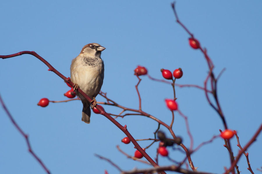 Eurasian Tree Sparrows (Passer montanus) on a dog rose bush Animal Wildlife Animals In The Wild Bare Tree Beauty In Nature Berry Bird Branch Dog Rose Dogrose Eurasian Tree Sparrows Nature Outdoors Passer Montanus Perching Red Rosehips Songbird  Wildlife Wildlife & Nature Wildlife Photography