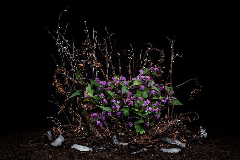 Close-up of purple flowering plant on field against black background