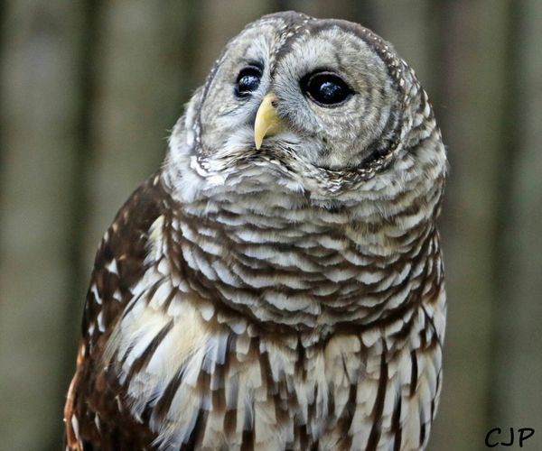 Owl Eyes Large Eyes Barn Owl Prey Animal Bird Photography
