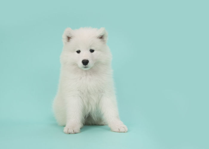 Cute somoyed puppy sitting on a blue background in a horizontal image Copy Space Samoyede's Dog Animal Themes Blue Background Colored Background Looking At Camera One Animal Pets Samoyed Samoyed Puppy Turquoise