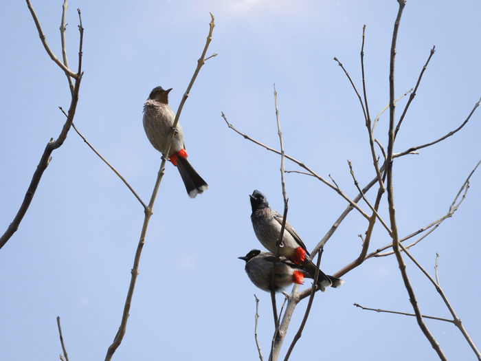 Red Vented Bulbul Animal Themes Bulbul Passerine Perched Three Group Of Animals Group Red Bare Tree Spring Bird Perching Tree Winter Branch Snow Sky Feather  Beak Songbird