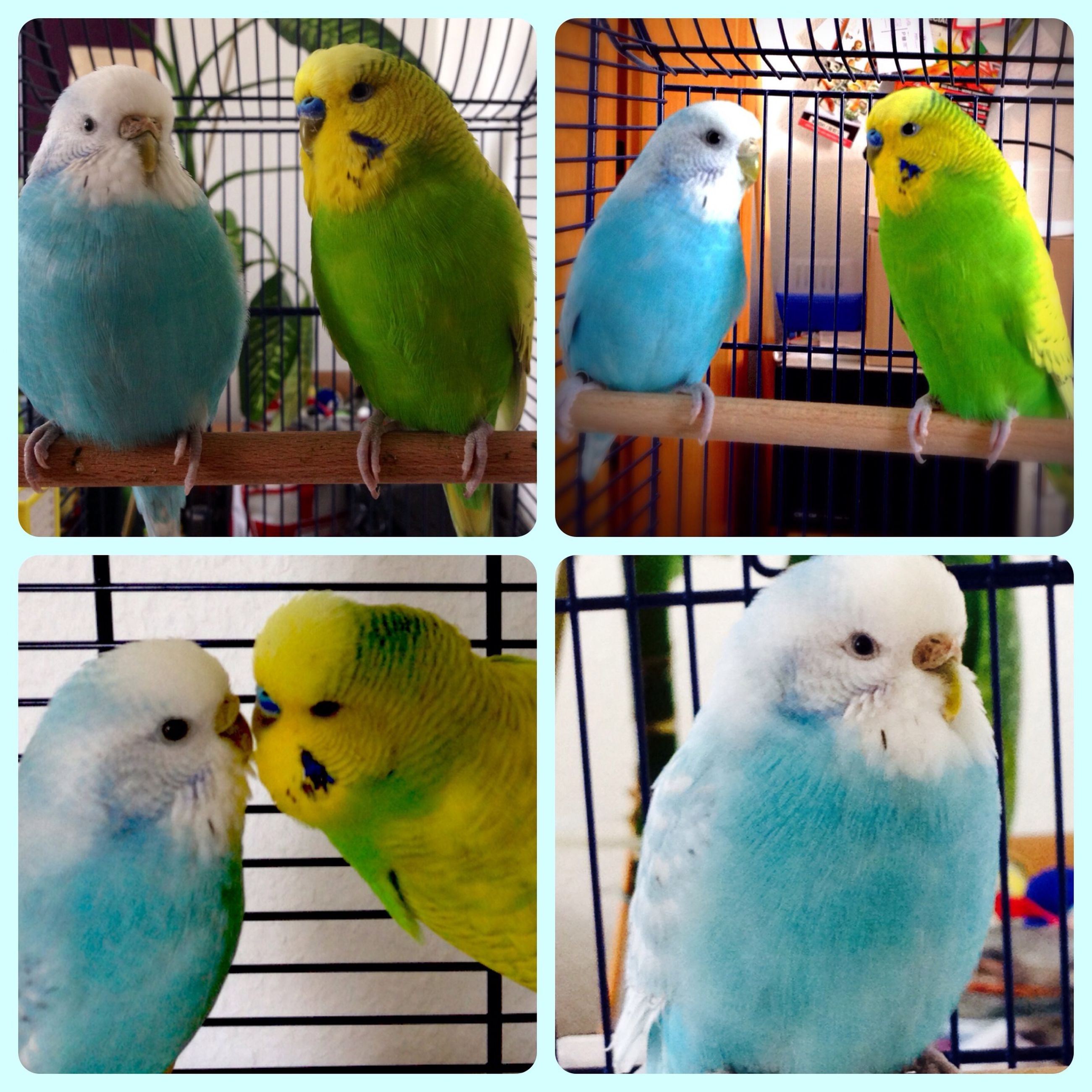 bird, animal themes, parrot, animals in the wild, close-up, two animals, wildlife, birdcage, three animals, duck, perching, medium group of animals, togetherness, green color, beak, yellow, railing, nature, day, indoors