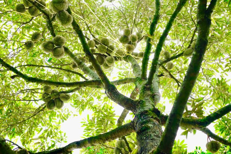 Tree Plant Low Angle View Growth Green Color Beauty In Nature Branch Nature Trunk Tree Trunk Sunlight Day Tree Canopy  Tranquility No People Land Outdoors Forest Leaf