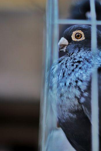 blue 💙 Wide Eyes Dove Blue Darkblue Bird Sideview Animal Wildlife One Animal Bird Animal Themes No People Animal Wildlife Close-up Animals In The Wild Blue Nature Day Cage Pets