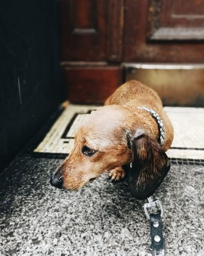 EyeEm Selects One Animal Dog Dogs Of EyeEm Dachshund Sad Dachshund Rain Sad Dog Sad Dog Eyes Dackelblick Dackel Rainy Days☔ Rainy Season Raindrops Wet Wet Day Wet Dog Berlin Charlottenburg  Traurig Dog Days Pets No People Domestic Animals EyeEmNewHere Pet Portraits