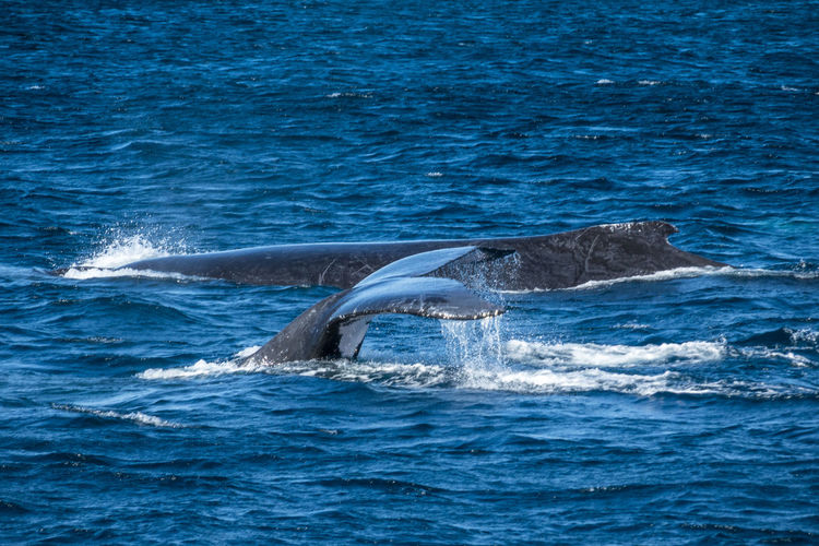 Mother & Calf Cruising by.. Animal Fin Animal Themes Animal Wildlife Animals In The Wild Aquatic Mammal Beauty In Nature Blue Day Humpback Whale Humpback Whale Mammal Nature No People One Animal Outdoors Sea Sea Life Swimming Tail Water Whale