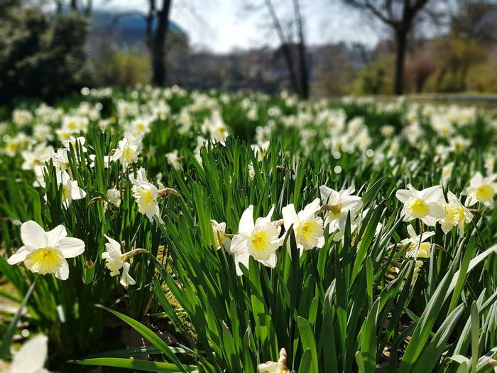 Close-up of white daffodil flowers on field
