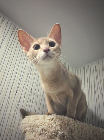 Abyssinian cat One Animal Domestic Animals Cat No People Day Lady Cat Emotions