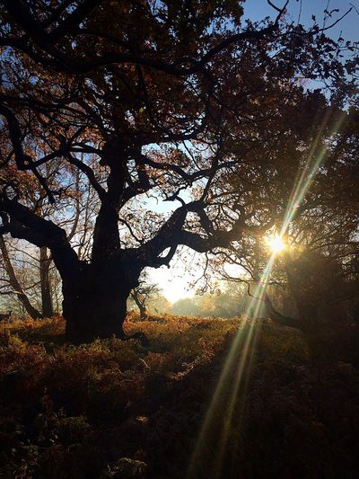 Sunlight Tree Lens Flare Sun Sunbeam Nature Beauty In Nature Sky Outdoors Low Angle View Scenics Growth Branch No People Day