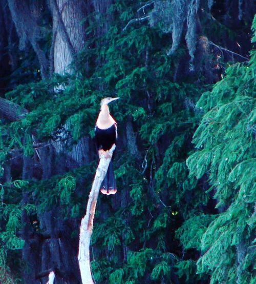 St. John's River Stroll Nature Shots. Tropical Bird on tree. Birds River Greenery Trees Nature Peaceful. Serene.